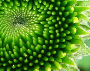 Fractals in plants (Parsley)?